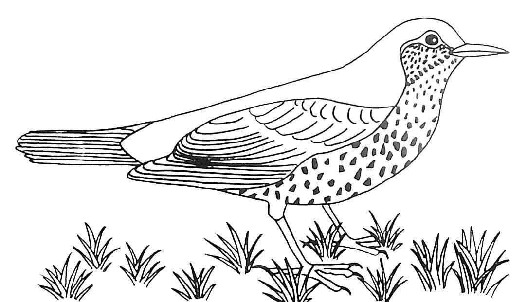 Coloriage Oiseau Grive Draine