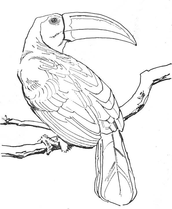 Coloriage oiseau toucan - Coloriage toucan a imprimer ...