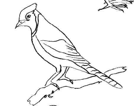 Coloriage oiseau geai - Dessin d oiseau ...