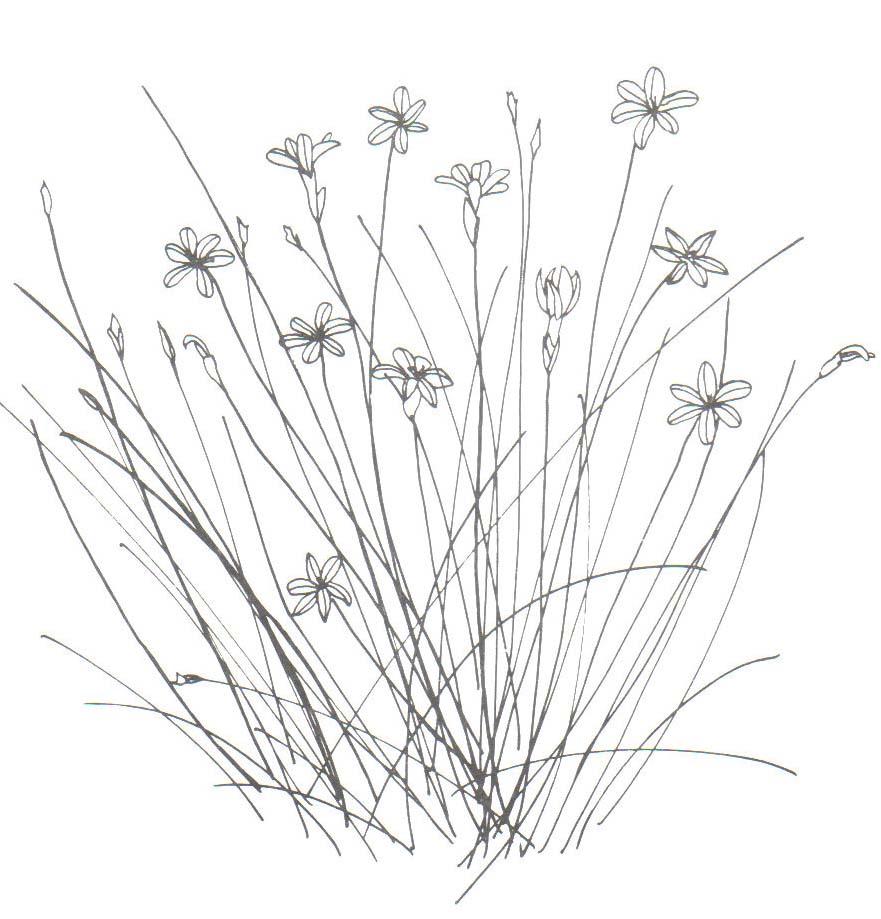 Dessiner Des Fleurs dessin de fleur aphyllante