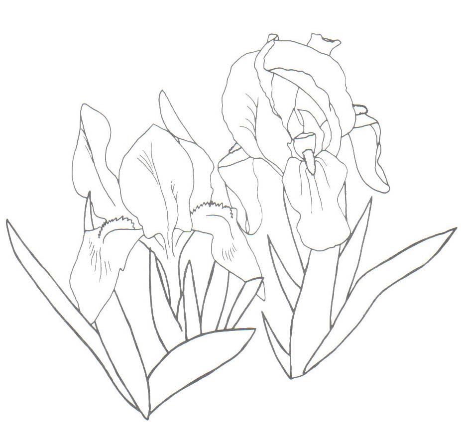 Coloriage iris d esse imprimer - Coloriage fleur iris ...