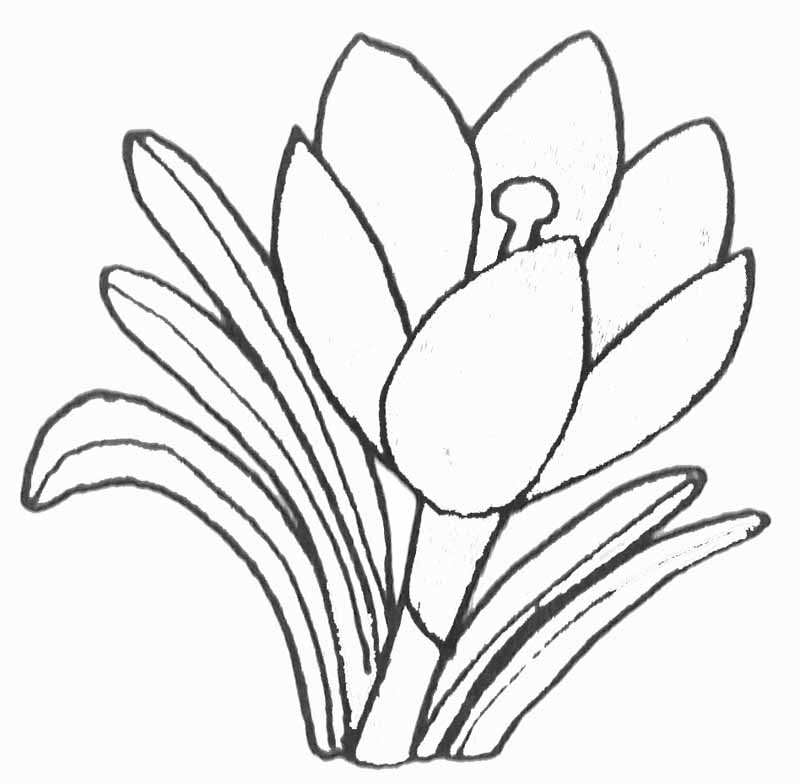 Coloriage crocus - Comment dessiner un lotus ...