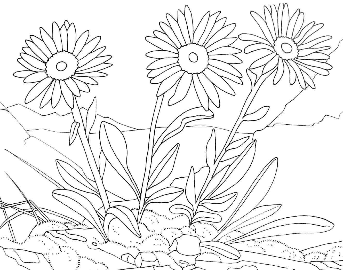 Coloriage de fleur de montagne arnica