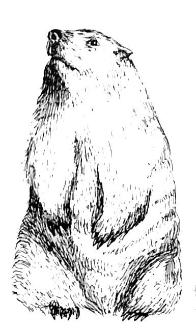 Coloriage marmotte