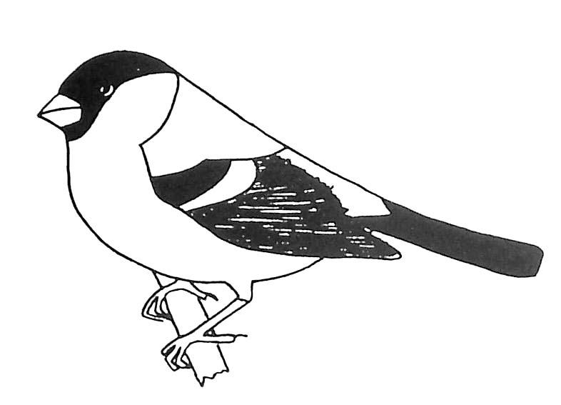 Coloriage oiseau bouvreuil pivoine - Dessin d oiseau ...