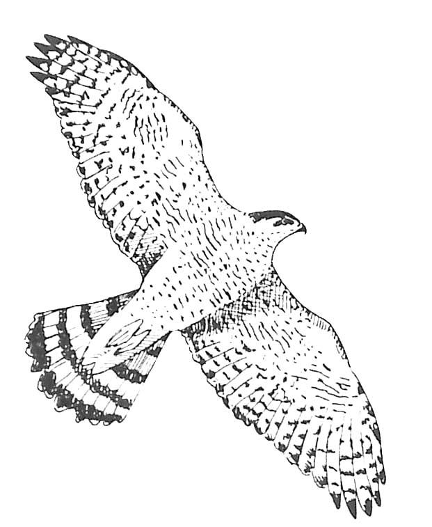 Coloriage oiseau rapace autour des palombes - Dessin oiseau en vol ...