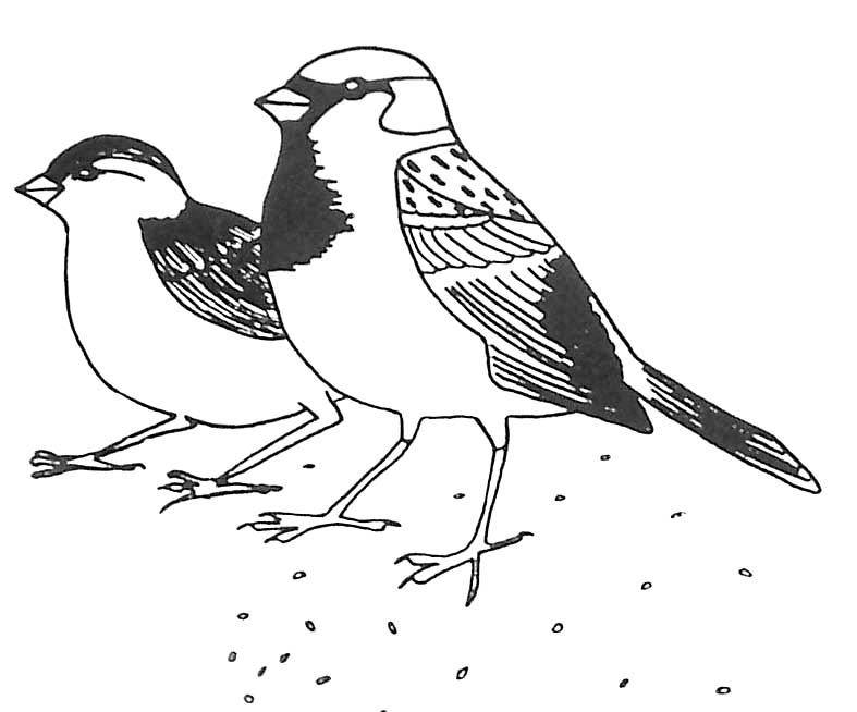 Coloriage oiseaux moineaux domestiques - Dessiner un faucon ...