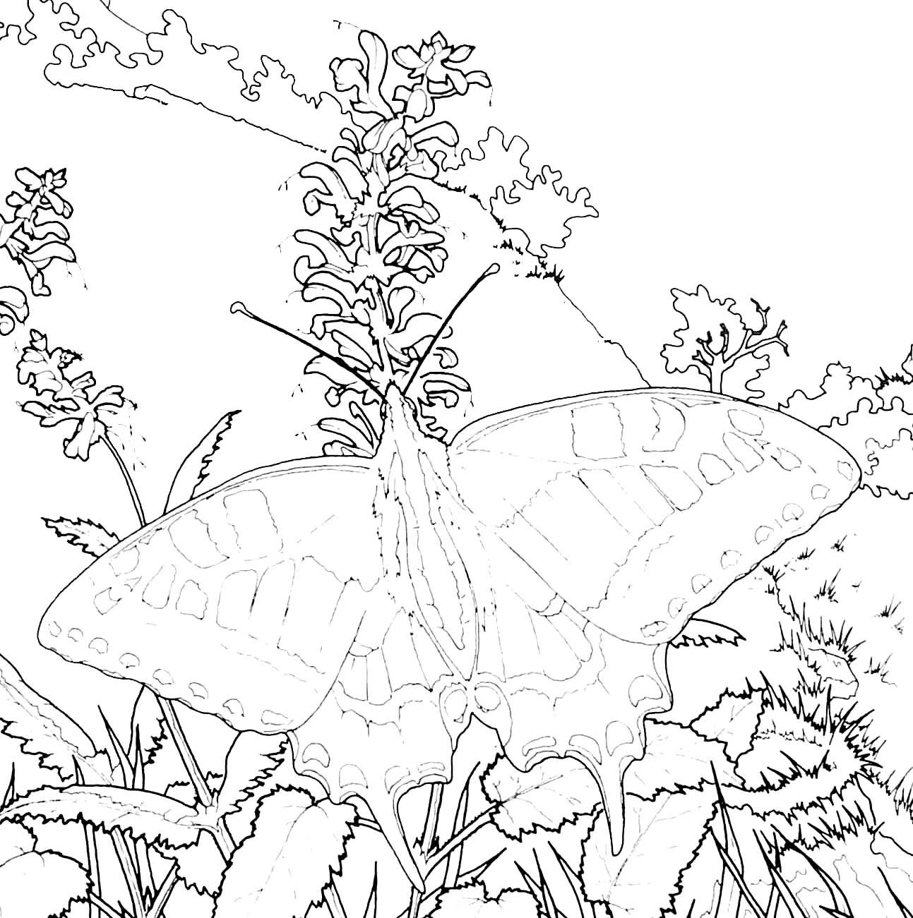 coloriage papillon grand porte queue sur fleur de sauge - Coloriage De Grand
