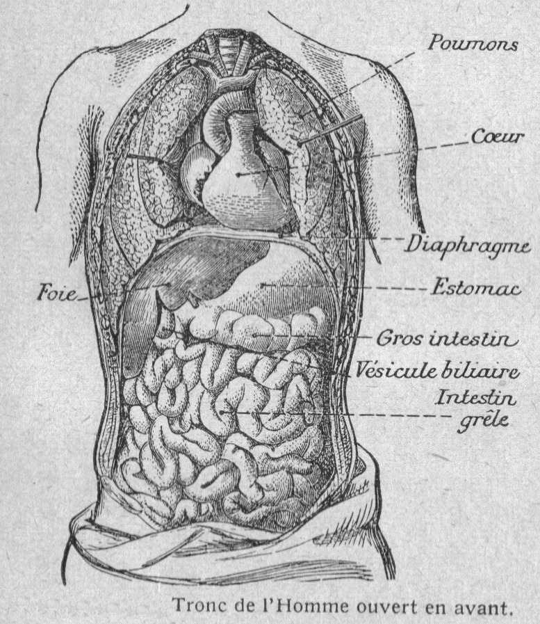 Beste Anatomie Organe Galerie - Menschliche Anatomie Bilder ...
