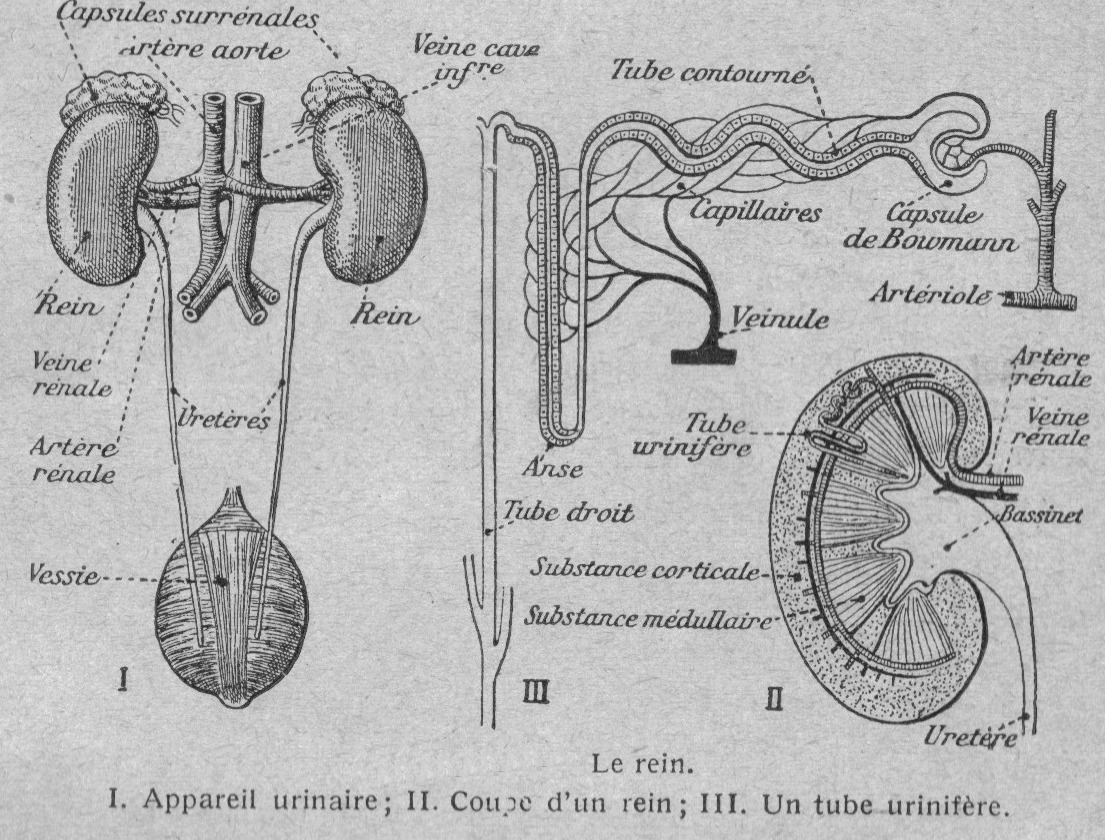 Anatomie et physiologie animales
