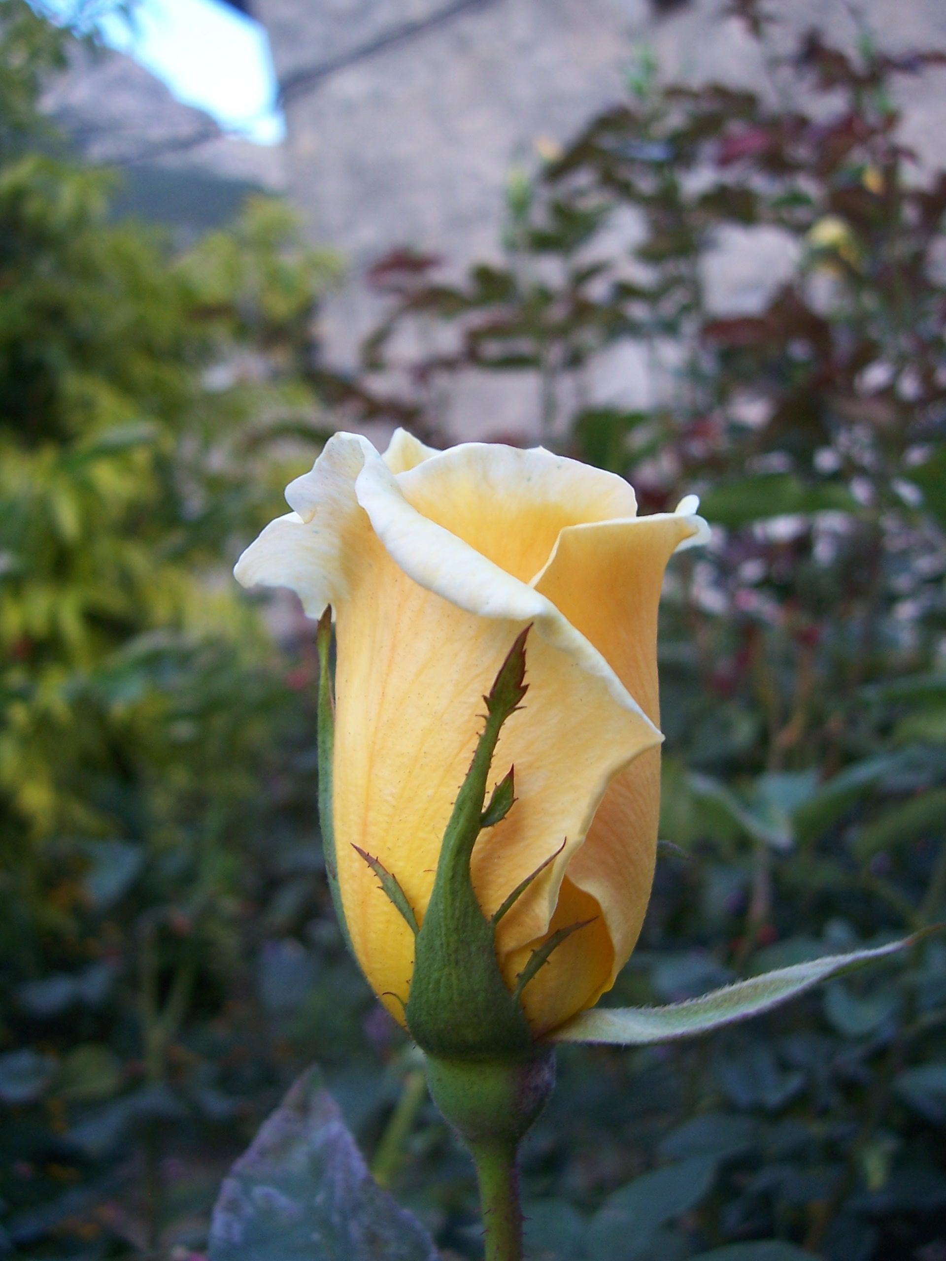 Bougainville Fleur avec fleurs