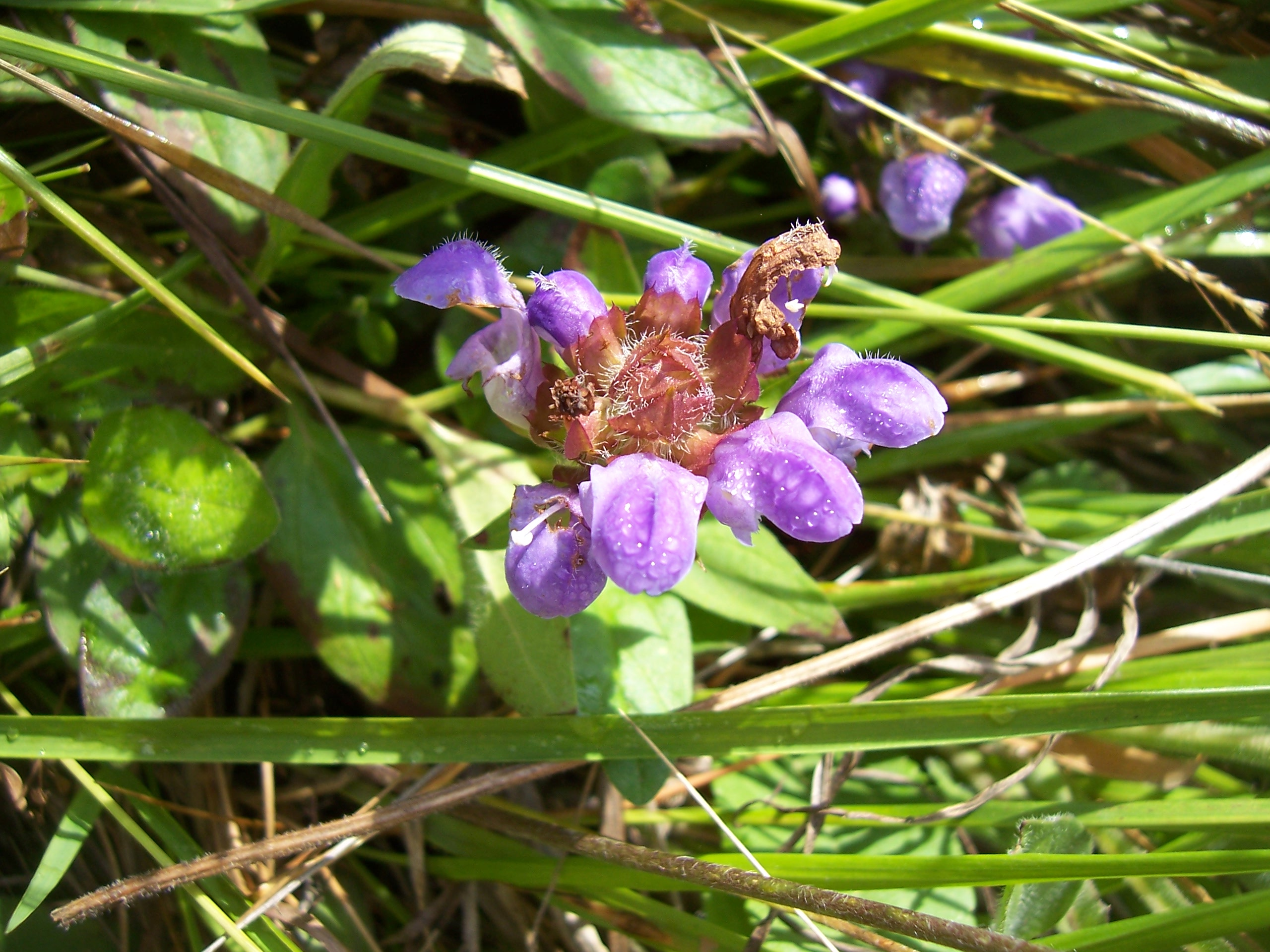 Bougainville Fleur à fleurs
