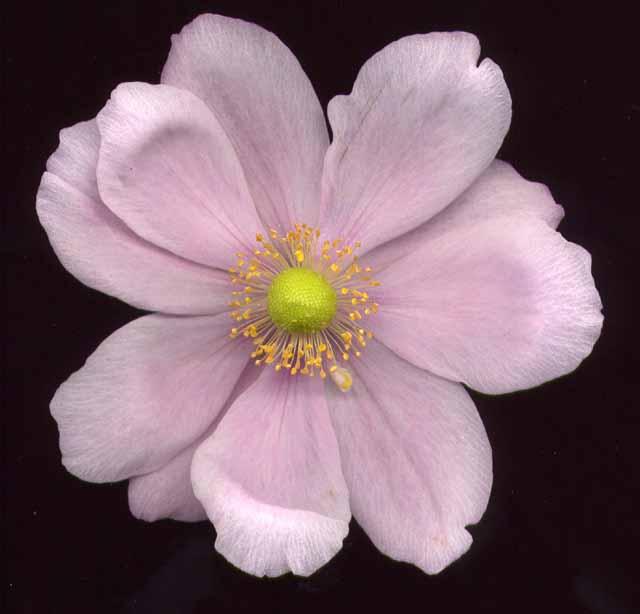 Macro photos r alis es avec scanner fleurs fruits - Anemone du japon blanche ...