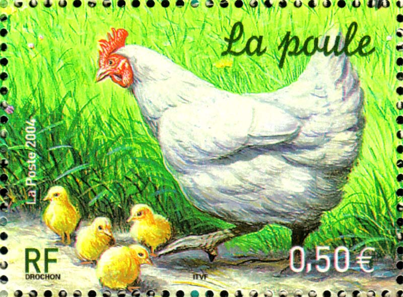 Poules coq - Poule et ses poussins ...