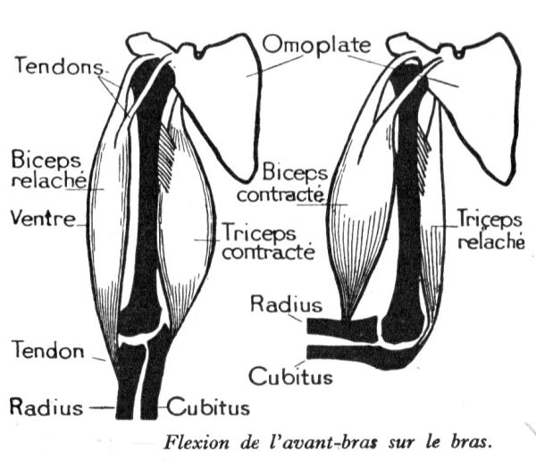 dessins anatomie humaine flexion-bras-avant-bras.JPG 8073eab35cc