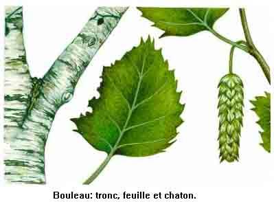 [Energie] Se chauffer au bois Bouleau_fiche
