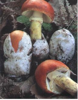 [Cueillette/culture] Les champignons Champignon_AmaCes