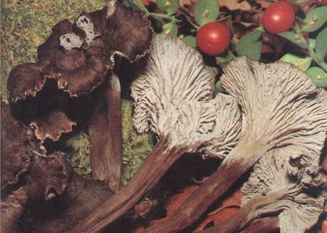 [Cueillette/culture] Les champignons Champignon_ChaCen