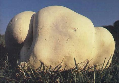 [Cueillette/culture] Les champignons Champignon_VesGea
