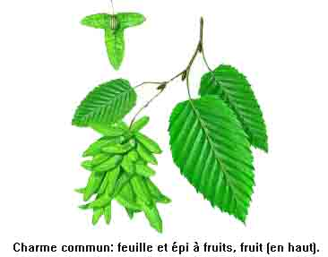 [Energie] Se chauffer au bois Charme_arbre_fiche