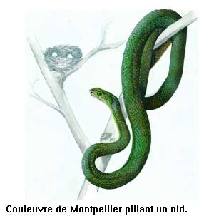 Colubrid s reptiles - Dessin de vipere ...