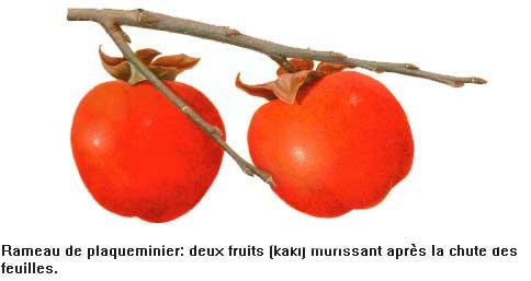 Coloriage Fruit Kaki.Kaki Fruit