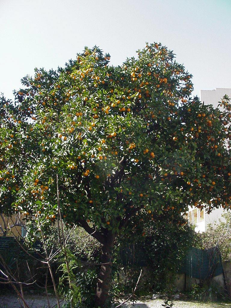 photo arbre fruitier oranger. Black Bedroom Furniture Sets. Home Design Ideas