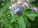 Photos_abeilles_-_2012-05-09_-_011_abeille_sur_fleur_de__bourrache_officinale_borago_officinalis_dans_le_jardin.JPG