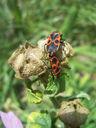 Photos_accouplements_insectes_-_2006-07-29_-_4914_punaises_gendarme_suisse_ou_cherche-midi_accouplement.jpg