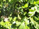 Photos_arachnides_araignees_-_2006-04-18_-_9727_araignee_sur_sa_toile.jpg