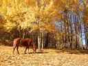 Photos_chevaux_poneys_-_2010-03-28_-_039_cheval_quarter_horse_et_feuilles_mortes.jpg