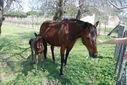 Photos_chevaux_poneys_-_2010-04-16_-_077_le_poulain_et_la_jument.jpg