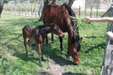 Photos_chevaux_poneys_-_2010-04-16_-_079_poulain_et_sa_mere.jpg