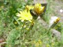 Photos_coleopteres_-_2002-05-26_-_353F_chrysomele_Cryptocephalus-hypochaeridis.JPG