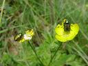 Photos_coleopteres_-_2002-05-26_-_359F_chrysomele_Cryptocephalus-hypochaeridis.JPG
