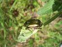 Photos_coleopteres_-_2006-05-17_-_0702_cetoine_doree_cetonia_aurata.jpg