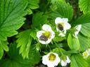 Photos_coleopteres_-_2012-04-13_-_021_cetoines_drap-mortuaires_sur_fleurs_de_fraisier.JPG