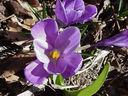 Photos_crocus_-_0520F-crocus.JPG