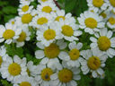 Photos_fleurs_de_jardin_ou_interieur_01_-_2000-06-18_-_874F-chrysanthemes.JPG