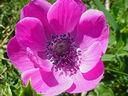 Photos_fleurs_de_jardin_ou_interieur_01_-_2001-04-02_-_anemone-262F.JPG