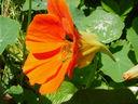 Photos_fleurs_de_jardin_ou_interieur_01_-_2001-04-02_-_capucine-263F.JPG