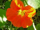 Photos_fleurs_de_jardin_ou_interieur_01_-_2001-04-12_-_capucine-454S.JPG