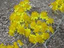 Photos_fleurs_de_jardin_ou_interieur_02_-_2001-06-28_-_414S-cineraire.JPG
