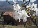 Photos_fleurs_de_jardin_ou_interieur_02_-_2002-03-24_-_Cerisier-407F.JPG
