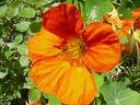 Photos_fleurs_de_jardin_ou_interieur_03_-_2002-05-16_-_751F-capucine.JPG