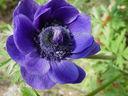Photos_fleurs_de_jardin_ou_interieur_03_-_2002-05-26_-_369F_anemone.JPG