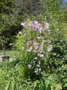 Photos_fleurs_de_jardin_ou_interieur_03_-_2002-0928_-_653F_anemone-du-Japon.JPG