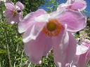 Photos_fleurs_de_jardin_ou_interieur_03_-_2002-0928_-_654F_anemone-du-Japon.JPG