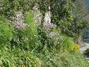 Photos_fleurs_de_jardin_ou_interieur_03_-_2002-0928_-_658F_bordure_anemones-japonaises.JPG