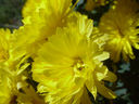 Photos_fleurs_de_jardin_ou_interieur_03_-_2002-0928_-_663F_chrysantheme.JPG